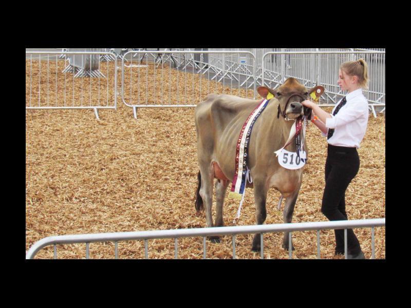 A winning cow