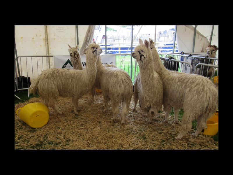 Inside the alpaca tent